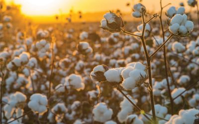 World Cotton Day: The importance of using responsibly sourced cotton
